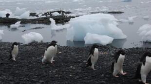 O pinguim-de-adélia é uma espécie que vive na Antártida.