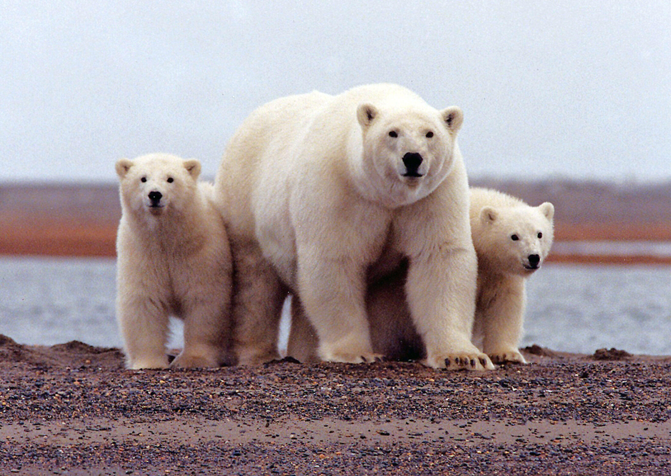 Полярные медведи - первые жертвы глобального потепления в Арктике.