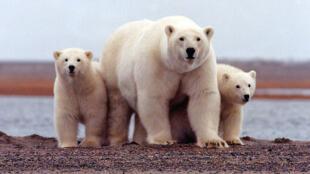 Les ours polaires sont victimes du réchauffement global, et la fonte des glaces dans l'Arctique les force à passer plus de temps à la recherche de nourriture.