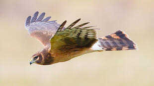 The number of Hen Harriers has dropped significantly in England