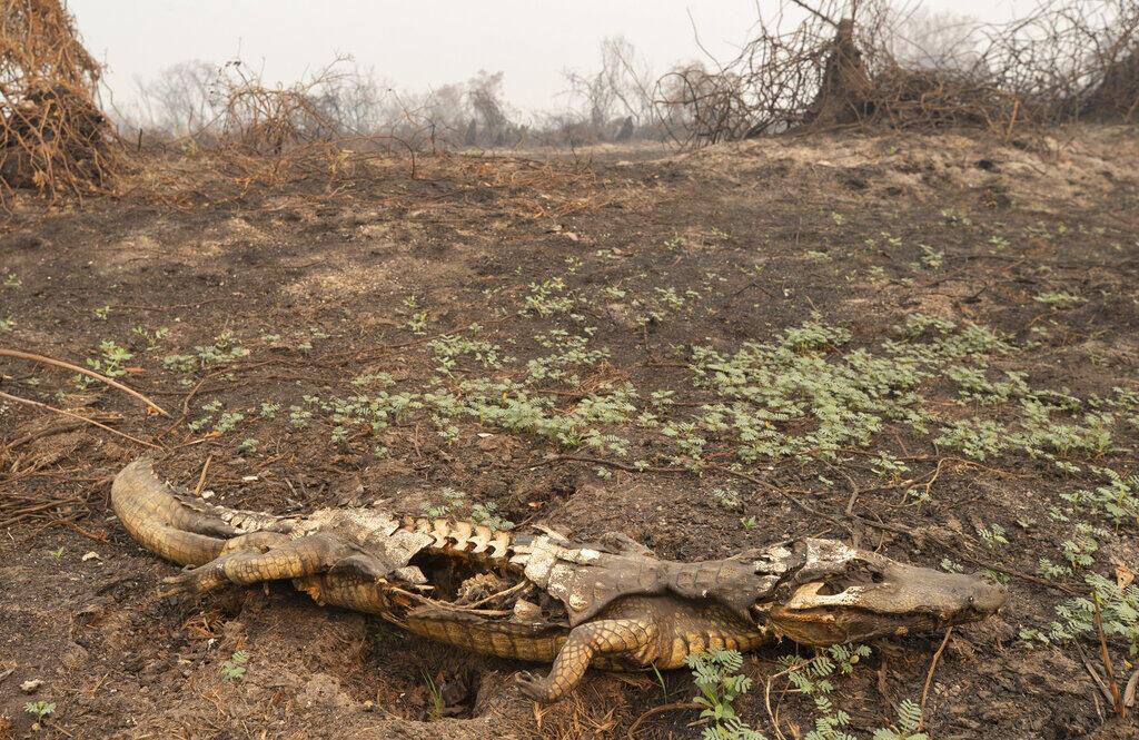 Cadáver de un caimán por un incendio en la zona cercana a la carretera Transpantaneira en el Pantanal, cerca de Pocone, el 14 de septiembre de 2020.