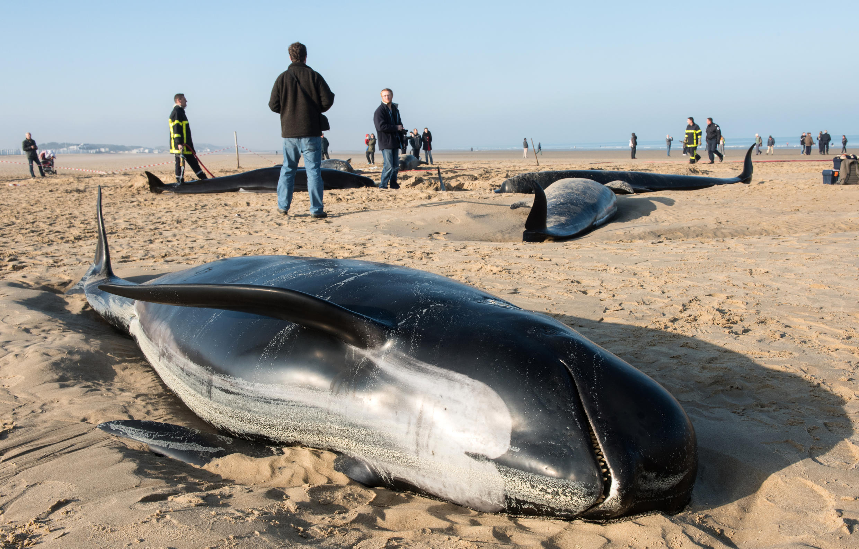 Das dez baleias que encalharam na cidade de Calais, nesta segunda-feira (2), apenas três sobreviveram.