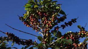 Le Brésil devrait dès l'année prochaine devenir le numéro un mondial du café de spécialité.