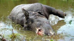 Les cornes de rhinocéros et les os de tigres élevés en captivité pourront être utilisés pour «la recherche médicale et le traitement clinique de maladies graves» (photo d'illustration).
