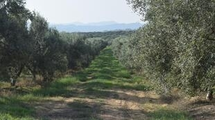 View of olive grove near Hammamet, Tunisia