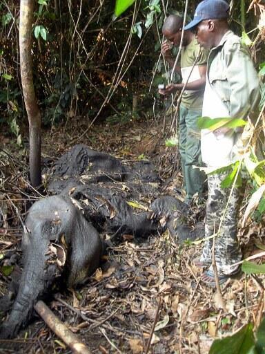 Dans un parc du Gabon, le cadavre d'un éléphant dépouillé de son ivoire.