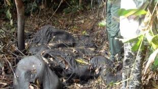 Braconnage pour l'ivoire. Cadavre d'un éléphant dans un parc au Gabon.