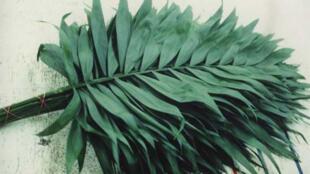 Palmier Camedor, utilisé dans la fabrication du dollar.
