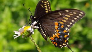 As borboletas também são agentes polinizadores.