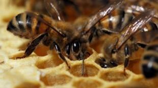 Mais de uma dúzia de ataques mortais de abelhas são registrados por ano na França.