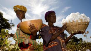 Tous les observateurs affirment que l'OMC ne s'est pas attaqué au véritable fondement des distorsions de concurrence sur les marchés agricoles. (Sur la photo: recolte du coton malien).