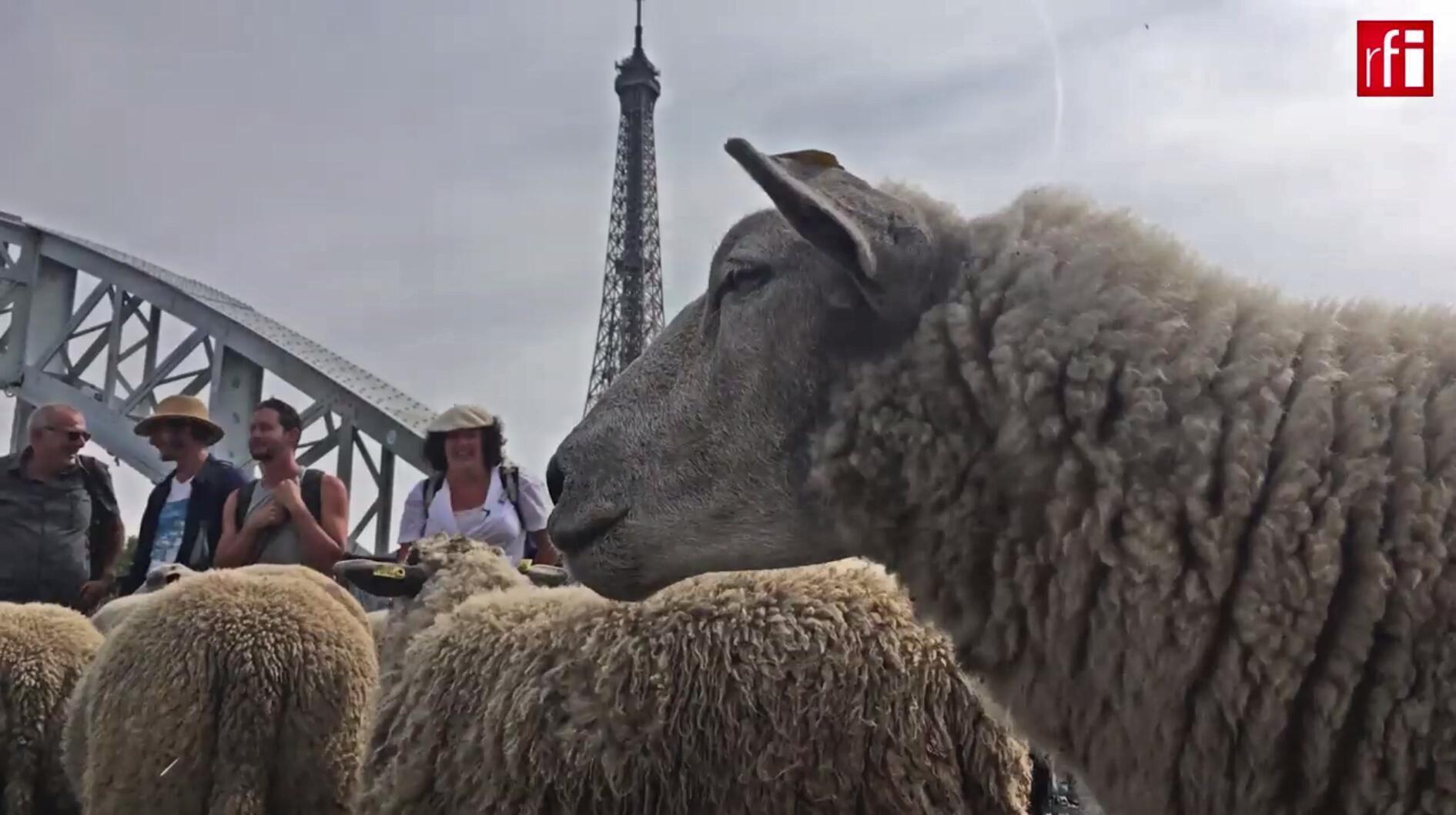 Las ovejas recorrieron 140 kilómetros alrededor de París en 10 días.