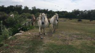 Camargue horses at Mas de la Cure in Les Saintes-Maries de la Mer, southern France