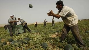 Palestinians harvest watermelons on a farm in Rafah in the southern Gaza Strip