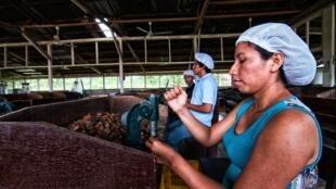 Una empleada trabaja rompiendo nueces de Brasil, en Puerto Maldonado, en Perú.