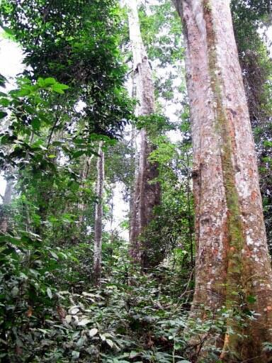 La forêt tropicale de Bambidie, dans l'est du Gabon.