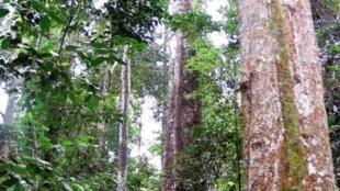 Une forêt au Gabon.