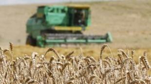 Thu hoạch lúa mì trên một cánh đồng ở làng Znamenka, gần Minsk;