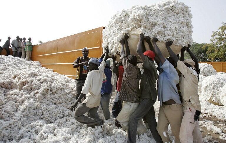 Récolte du coton en Afrique