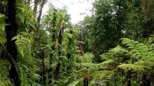 Celebra-se hoje o dia internacional da floresta, ocasião para uma reflexão sobre o estado das florestas em São Tomé e Príncipe, onde a Direcção das Florestas prevê plantar mais de 7 mil árvores.
