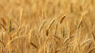 Du blé irréprochable pour la création d'aliments pour enfants.