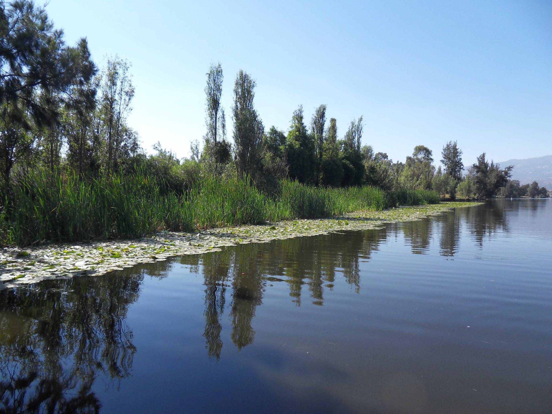 La jacinthe d'eau ne laisse aucun répit. A peine les canaux nettoyés, ils se recouvrent aussitôt. La jacinthe couvre 70% des plans d'eau mexicains.