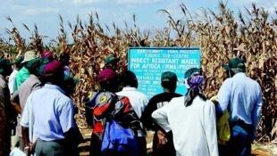 Milho transgénico no Quénia