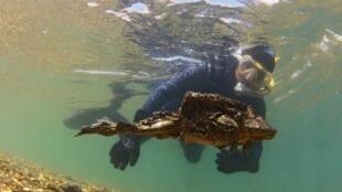 La grenouille géante du lac Titicaca Telmatobius culeus
