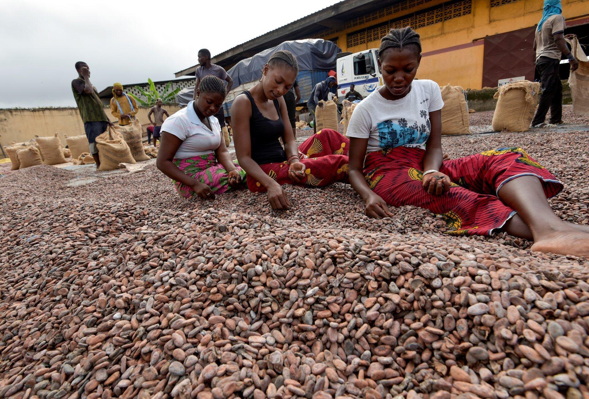 Ouvrières triant des fèves de cacao chez un exportateur ivoirien à Abidjan, le 3 juillet 2019.