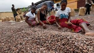 Ouvrières triant des fèves de cacao chez un exportateur ivoirien à Abidjan.