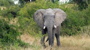 Un éléphant d'Afrique dans le secteur d'Ishasha au parc national Queen Elizabeth.