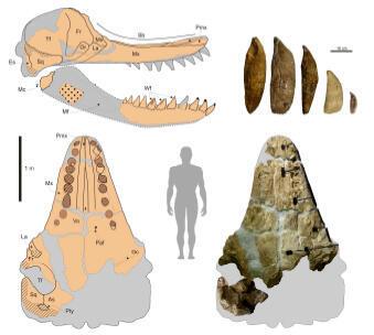 Reconstruction du crâne et des mandibules de Leviathan melvillei en vues latérale et ventrale. Les parties préservées sont colorées. Comparaison de 3 dents de Leviathan avec des dents de cachalot et d'orque modernes.