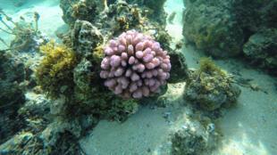 Après une période de blanchissement, le corail polynésien reprend des couleurs.