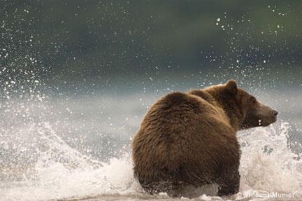 Les ours bruns retrouvent une seconde vie dans la réserve de Libearty