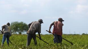 Travaux agricoles non loin de Port-au-Prince.