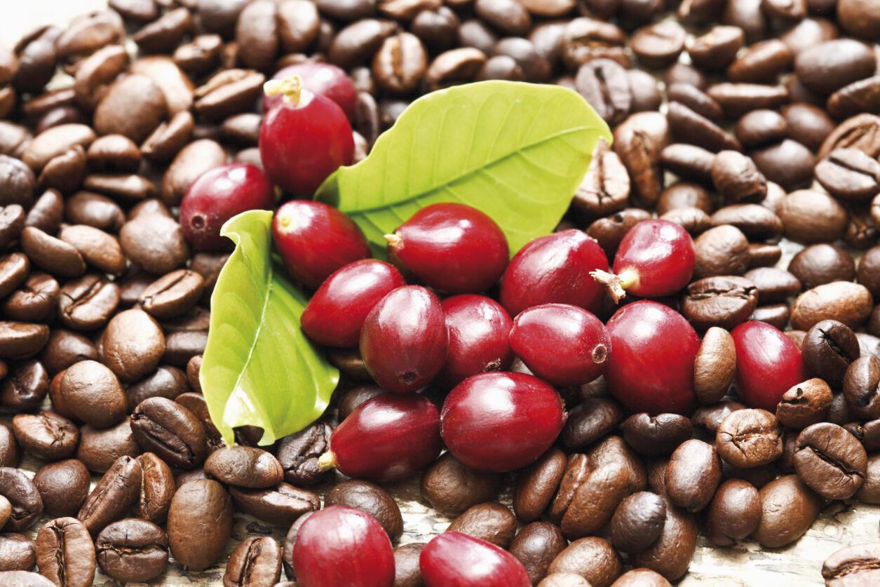 Des baies rouges de café sur un lit de graines de café arabica.