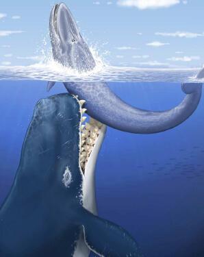 Reconstruction artistique de Leviathan melvillei attaquant une baleine à fanons de taille moyenne (7m.), dans les eaux peu profondes au large de la région occupée de nos jours par le Pérou.