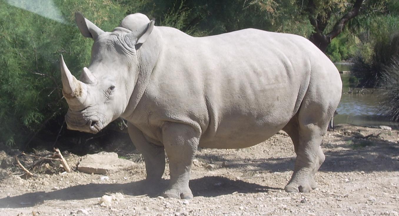 Un rhinocéros blanc. (Illustration).