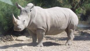 瀕臨絕種的白犀牛