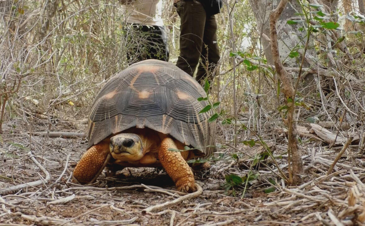 Radiated tortoise populations in the wild have plummeted