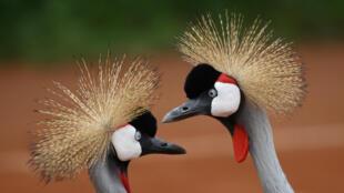 Rwanda - Grues royales - GettyImages-981943832