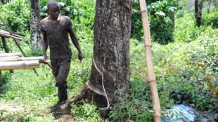 Un ouvrier agricole dans une plantation d'hévéas appartenant à l'Américain Firestone, à Harbel, au Liberia, le 17 octobre 2016 (image d'illustration).