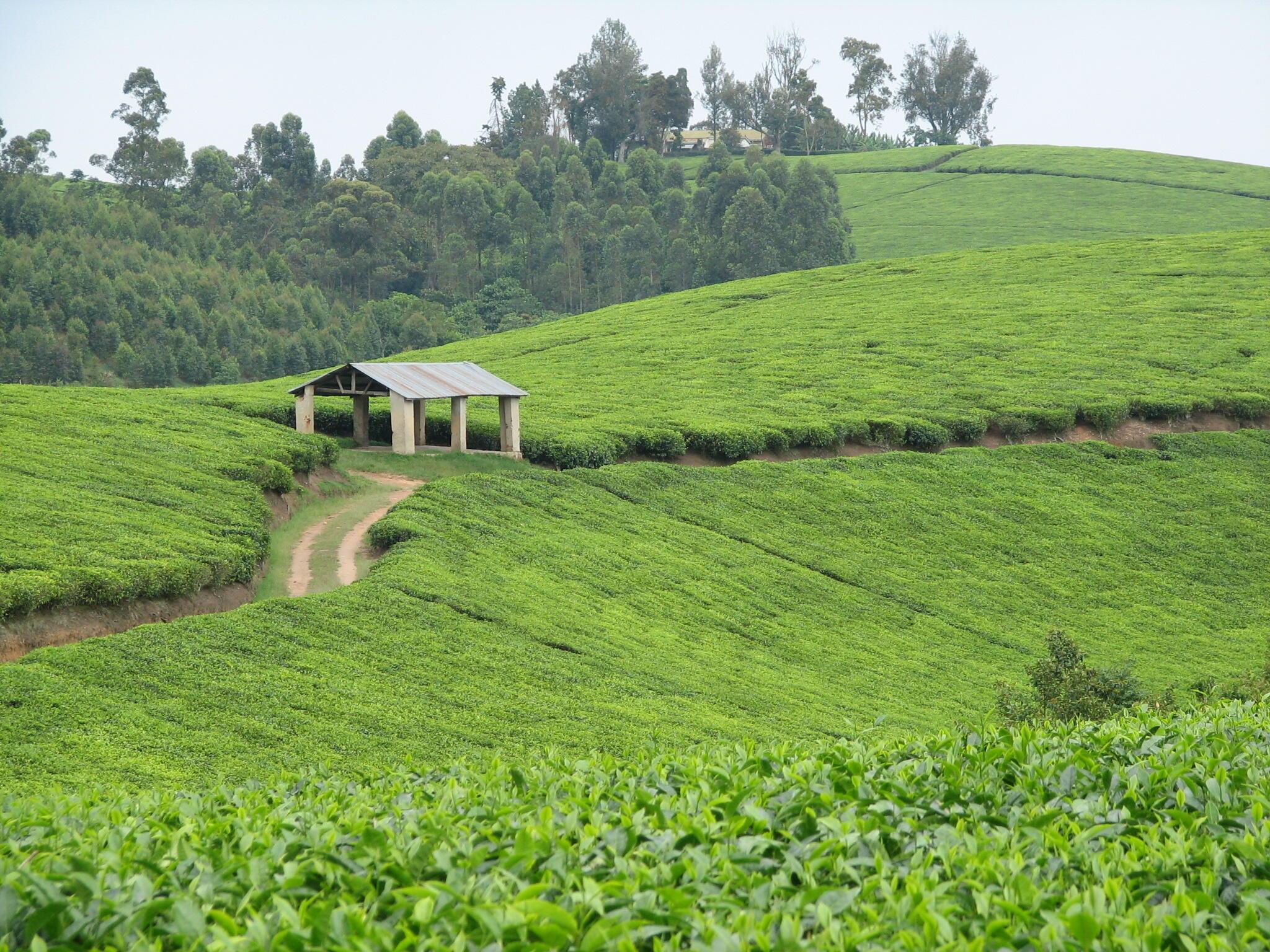 Tea plantations along the Mbarara-Kasese Road, Bushenyi District in Uganda.