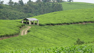 Tea plantations along the Mbarara-Kasese Road, Bushenyi District in Uganda.