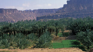 palmier-dattier-arabie-saoudite