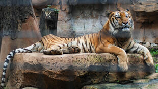 Tiger in Indonesian zoo