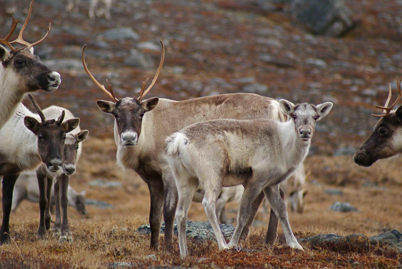Les rennes et leur transhumance : seul moyen de subsistance pour de nombreux Samis de Suède. L'exploitation des mines met leur mode de vie en danger.
