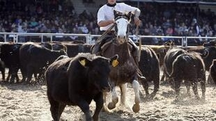 Un «gaucho» dirige les vaches au 127e Salon de l'agriculture de Buenos Aires. (Photo: le 27 juillet 2013).