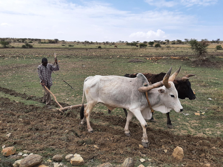 Récoltes Etiopie