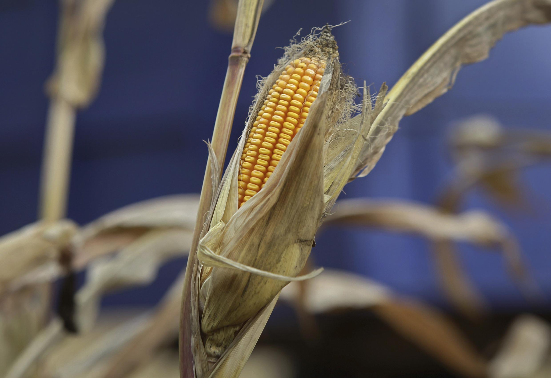 L'Afrique du Sud, habituellement exportatrice nette de maïs, va devoir en importer 5 millions de tonnes.